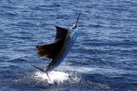 pez vela04